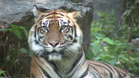 Beautiful African Tiger (High Definition) Stock Video Footage