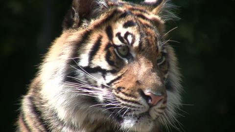 Closeup of Sumatran Tiger Stock Video Footage