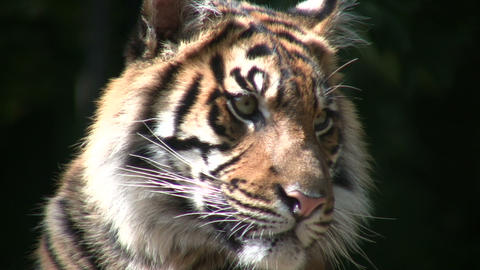 Closeup of Sumatran Tiger Footage