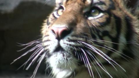 Closeup of a Sumatran Tiger Stock Video Footage