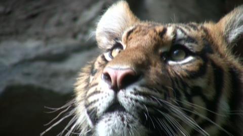 Closeup of a Sumatran Tiger Footage