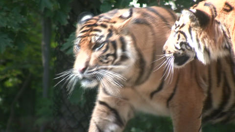 Two Sumatran Tigers Stock Video Footage