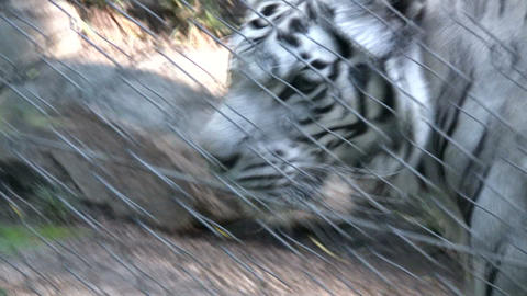 White tiger (High Definition) Stock Video Footage