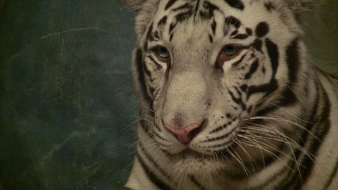 Close-up of a White Tiger resting Stock Video Footage