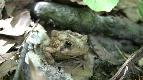 Cute forest toad casually rests on some leaves (High Definition) Footage