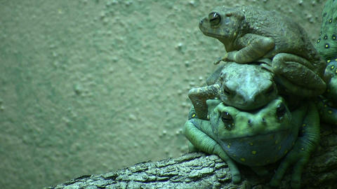 Three Climbing Toads are resting on top of each other Footage
