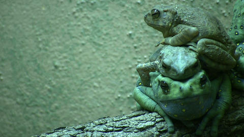 Three Climbing Toads are resting on top of each other Stock Video Footage