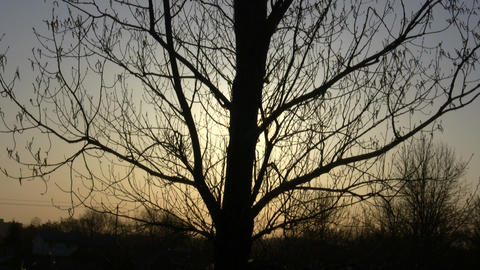 Large tree silhouettes against the setting sun (High Definition) Footage