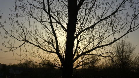 Large tree silhouettes against the setting sun (High... Stock Video Footage