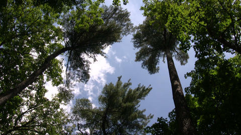 Tall trees tower towards the blue sky (High Definition) Stock Video Footage