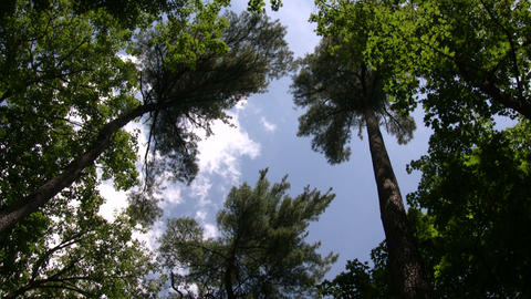 Tall trees tower towards the blue sky (High Definition) Footage