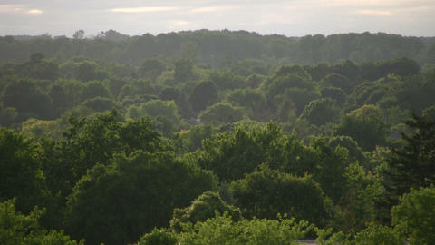 Tops of many trees tower towards the sky (High Definition) Stock Video Footage