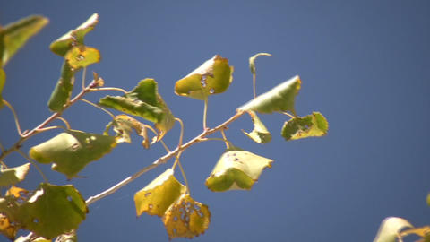 Close-up of tree's branch swaying in wind (High Definition) Stock Video Footage