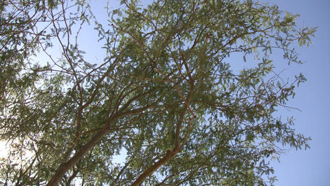 Tree gently sways in wind on sunny day (High Definition) Stock Video Footage