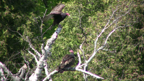 Turkey vultures hang around a tree, cooling off (High Definition) Footage