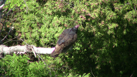 Turkey vulture hangs around a tree, cooling off (High... Stock Video Footage