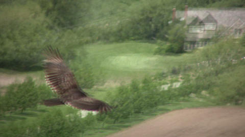 closeup of turkey vulture soaring through the sky (High... Stock Video Footage