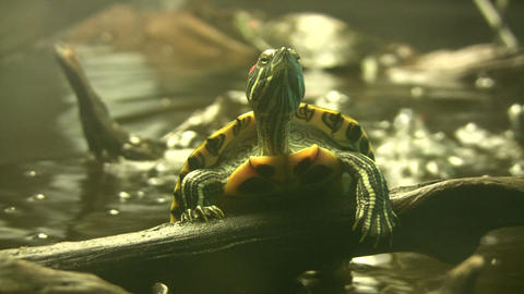 Turtle is resting on branch amidst the aquarium (High... Stock Video Footage
