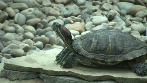 Turtle is resting on a stone slab (High Definition) Stock Video Footage