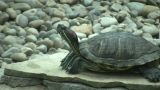 Turtle Is Resting On A Stone Slab (High Definition) stock footage
