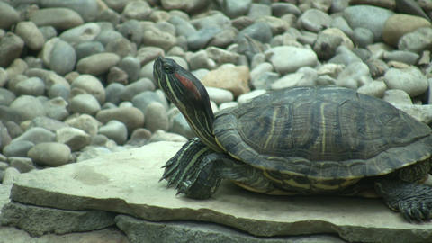 Turtle is resting on a stone slab (High Definition) Footage