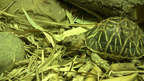 Indian Star Tortoise is relaxing on some dry grass Stock Video Footage