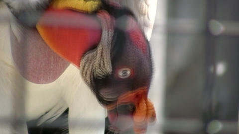 Closeup of King Vulture as it looks around (High Definition) Stock Video Footage