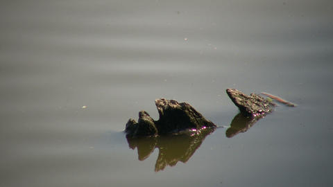 Tree stumps reflect in the calm serene water (High... Stock Video Footage