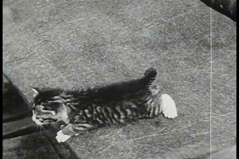 A day in the life of a cat in 1938 Footage