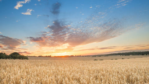Sunrise Among A Wheat Fields In The Summer Uk stock footage