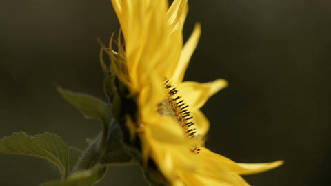 sunflower[向日葵]#1 Footage