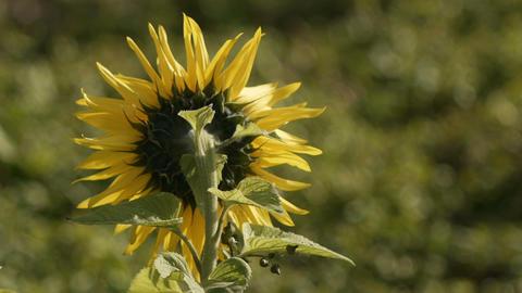 sunflower[向日葵]#3 Footage