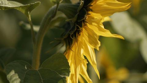 sunflower[向日葵]#5 Footage