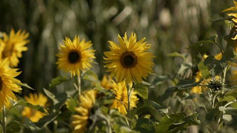 sunflower[向日葵]#7 Footage