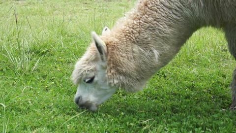 Llama Eating Green Grass Footage