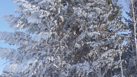 Winter snow-capped trees 01 Footage