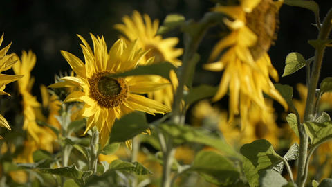 sunflower[向日葵]#10 Footage