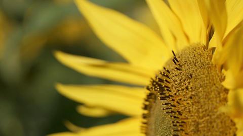 向日葵sunflowerSet3