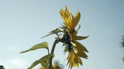 向日葵sunflowerSet3 1