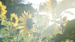 sunflower[向日葵]#13 Footage
