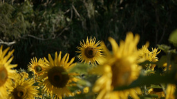 sunflower[向日葵]#14 Footage