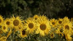 sunflower[向日葵]#15 Footage
