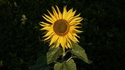 sunflower[向日葵]#16 Footage