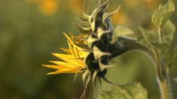 向日葵sunflowerSet5