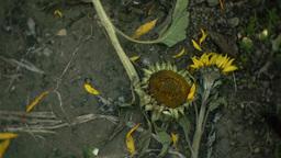 向日葵sunflowerSet5 0