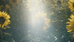 向日葵sunflowerSet5 1