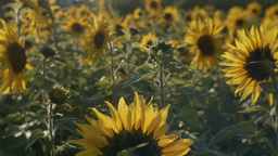 向日葵sunflowerSet5 2