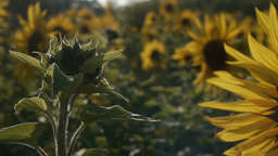 In the sunset Sunflower cameras of moving#3 Footage
