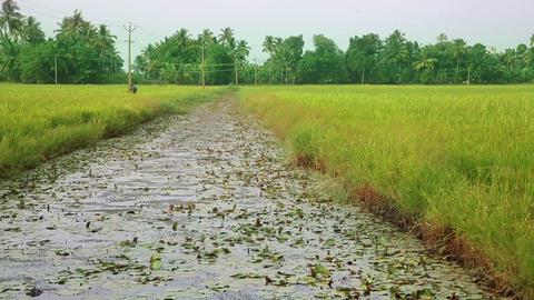 Rice paddy in Kerala Backwaters Footage