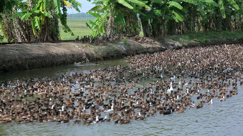 Large colony of ducks Footage